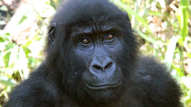 Actualite Actualite Le gouvernement congolais (RDC) officialise son projet d'exploitation pétrolière dans les parcs naturels des Virunga et de la Salonga